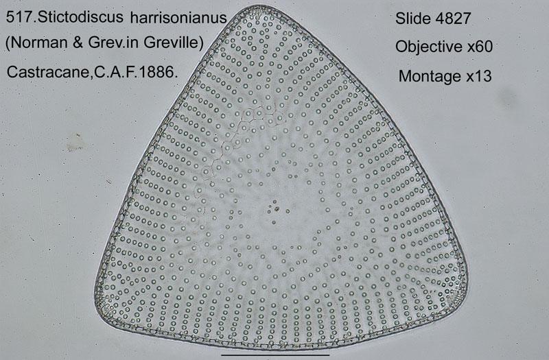 517. Stictodiscus harrisonianus