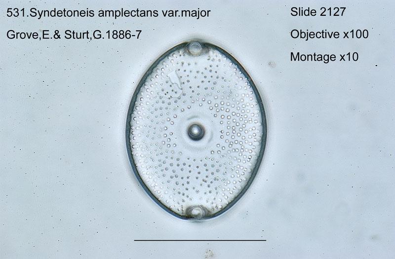 531. Syndetoneis amplectans var. major