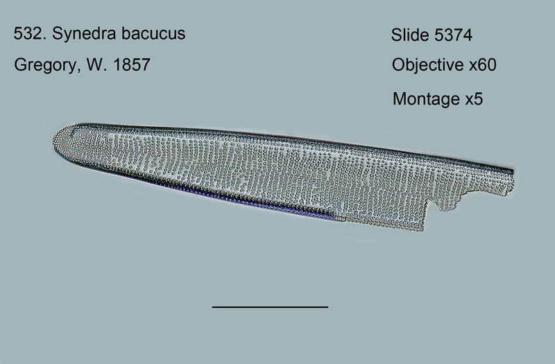 532. Synedra baculus