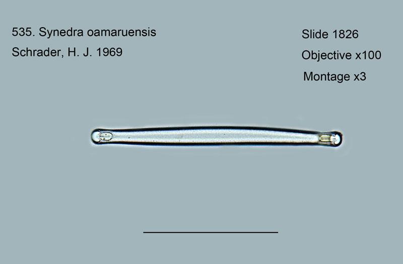 535. Synedra oamaruensis