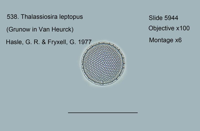 538. Thalassiosira leptopus