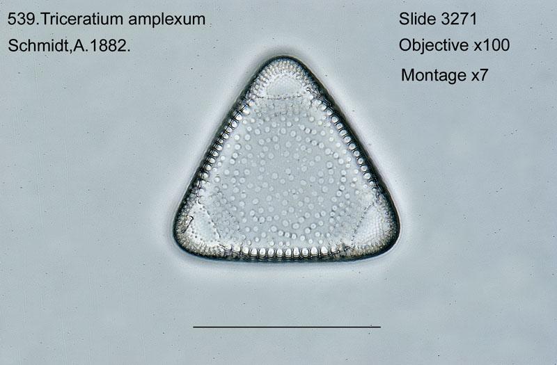 539. Triceratium amplexum