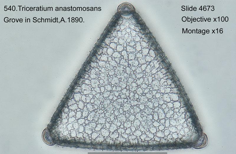 540. Triceratium anastomosans