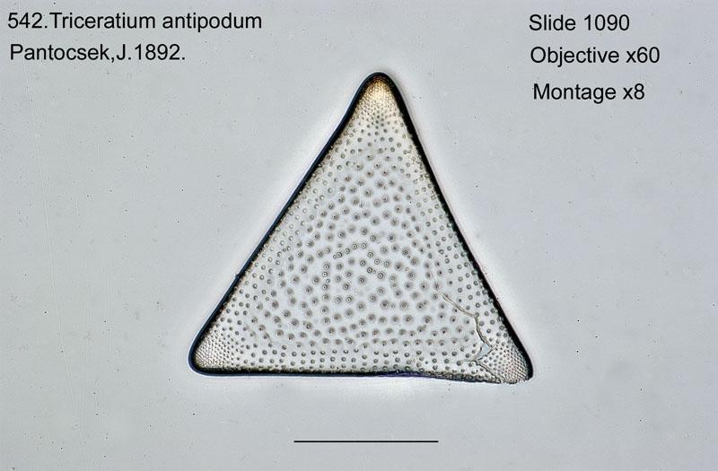 542. Triceratium antipodum
