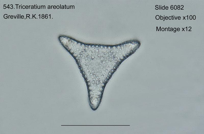 543. Triceratium aereolatum