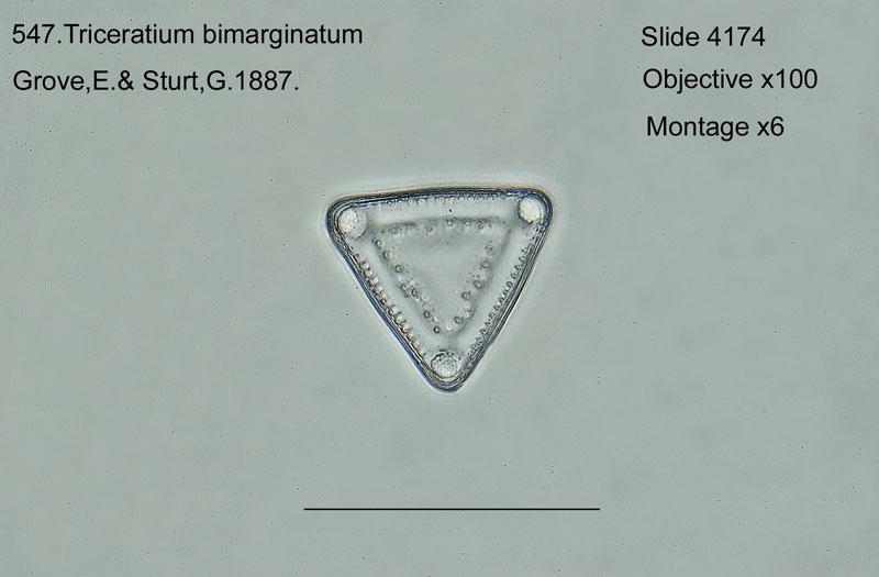 547. Triceratium bimarginatum