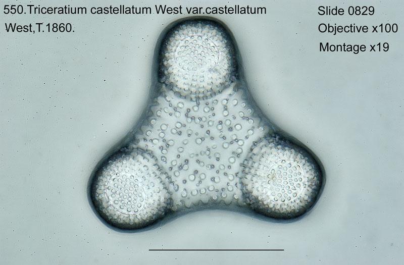 550. Triceratium castellatum