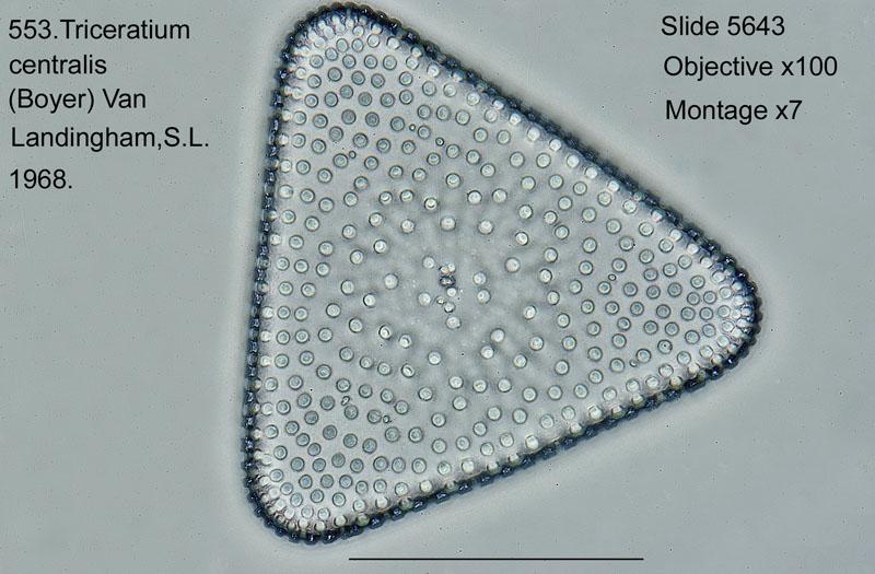 553. Triceratium centralis