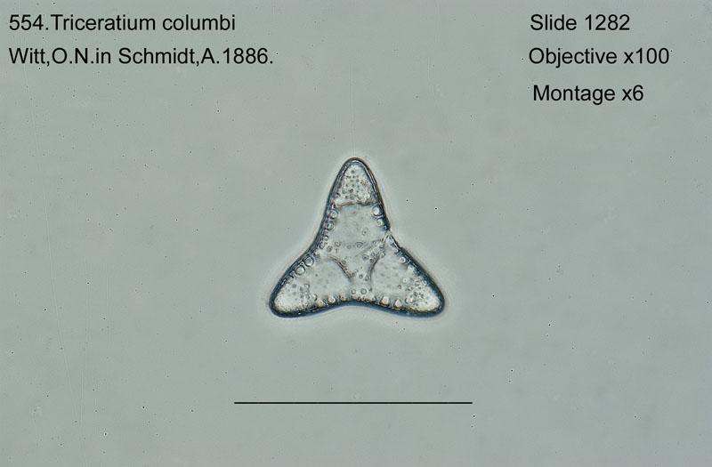 554. Triceratium columbi