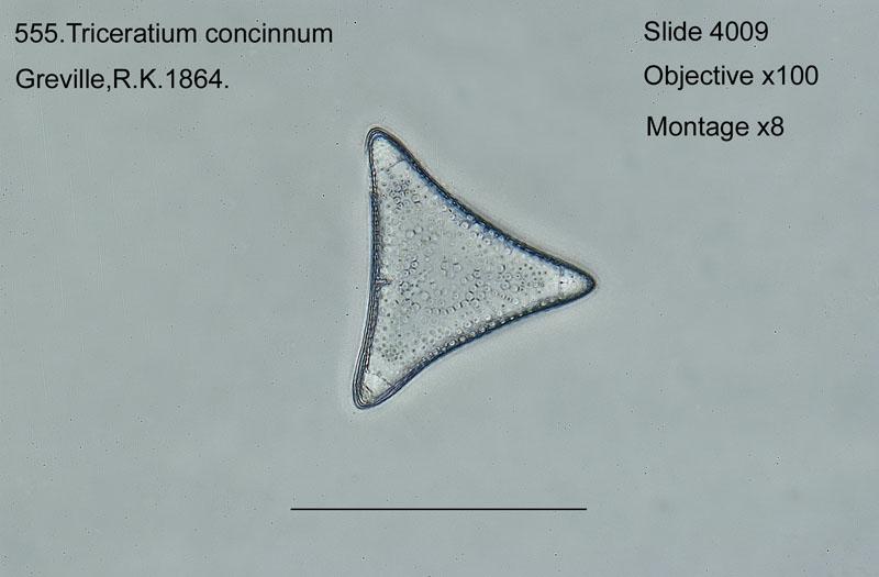 555. Triceratium concinnum