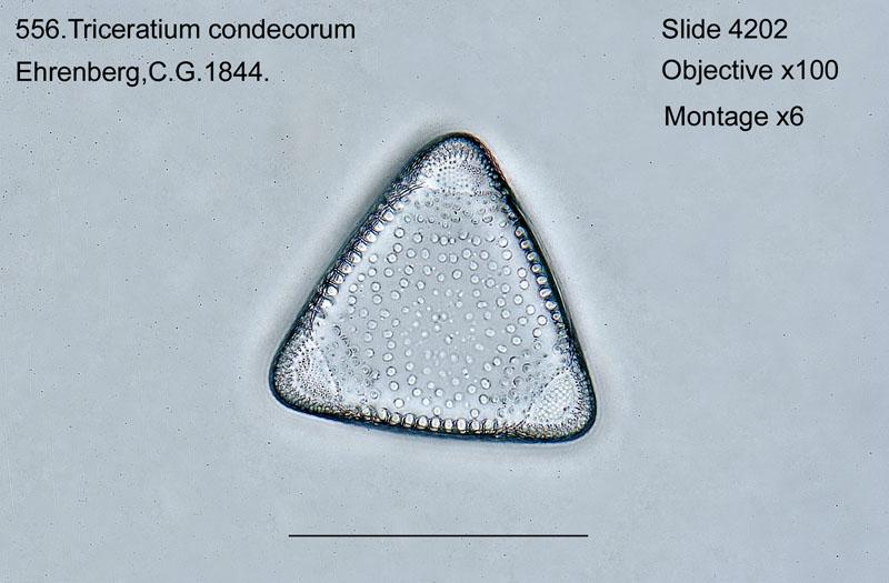 556. Triceratium condecorum