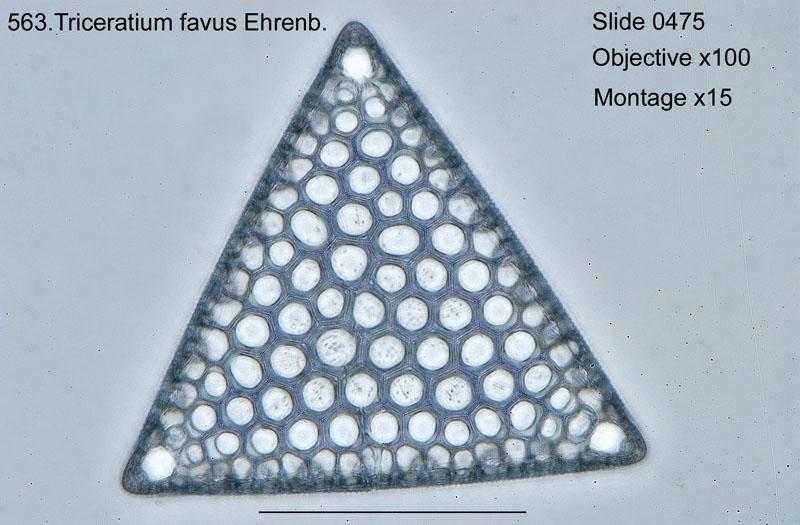 563. Triceratium favus