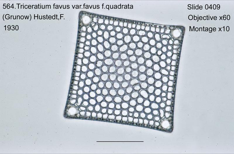 564. Tricerarium favus var. favus f. quadrata