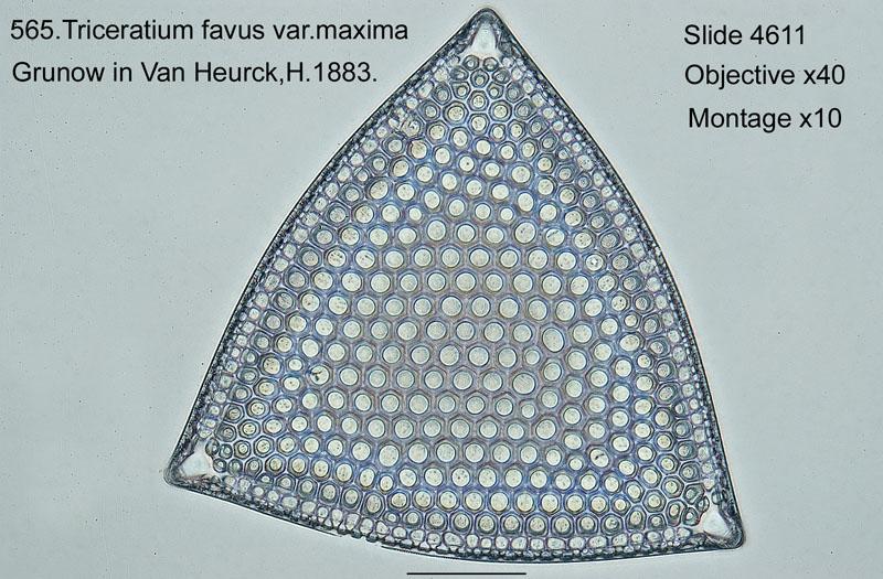 565. Triceratium favus var. maxima