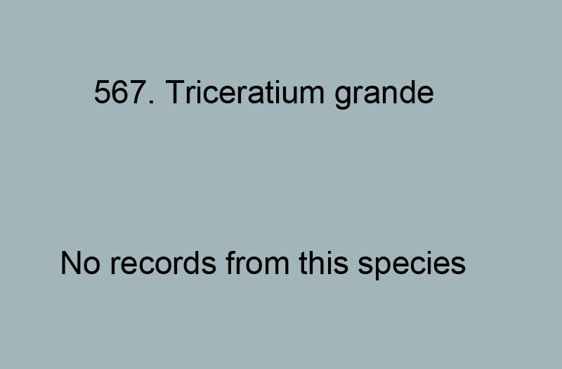 567. Triceratium grande