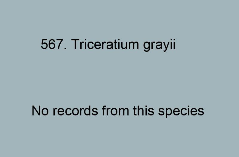 568. Triceratium grayii
