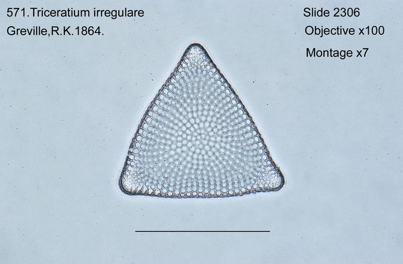 571. Triceratium irregulare