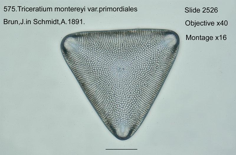 575. Triceratium montereyi var. primordiales