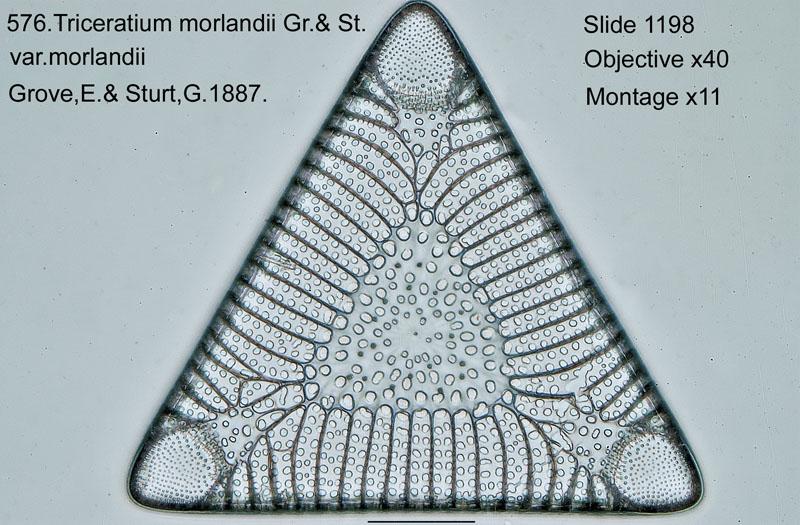 576. Triceratium morlandii