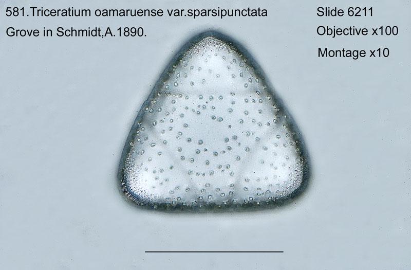 581. Triceratium oamaruensis var. sparsipunctata