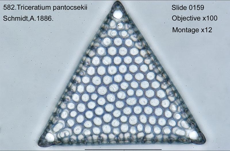 582. Triceratium pantocshekii