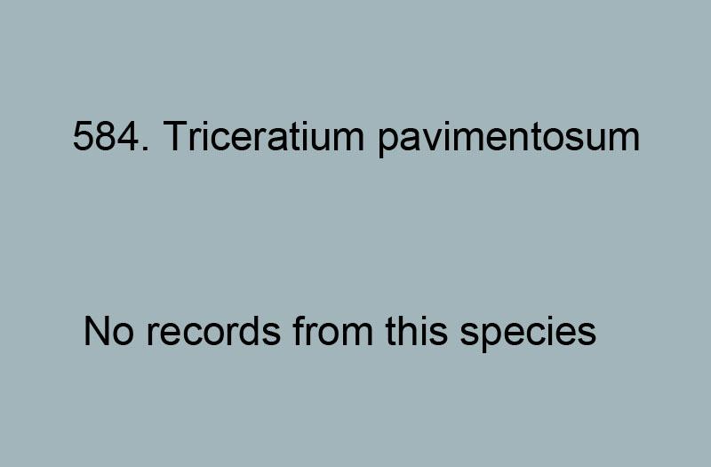 584. Triceratium pavimentosum