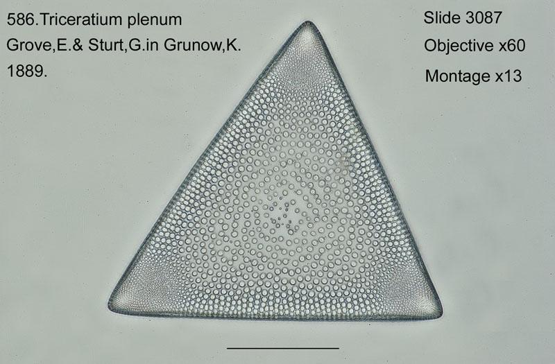 586. Triceratium plenum