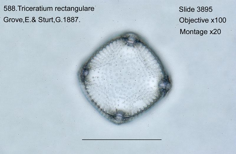 588. Triceratium rectanglulare
