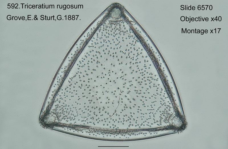 592. Triceratium rugosum