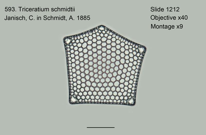593. Triceratium schmidtii