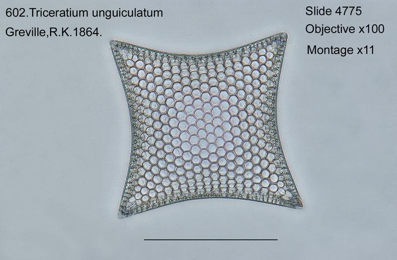 602. Triceratium unguiculatum