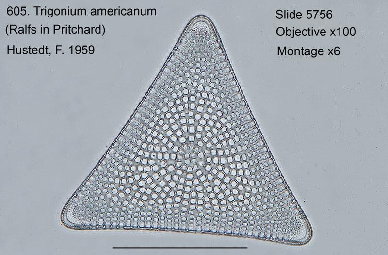 605. Trigonium americanum