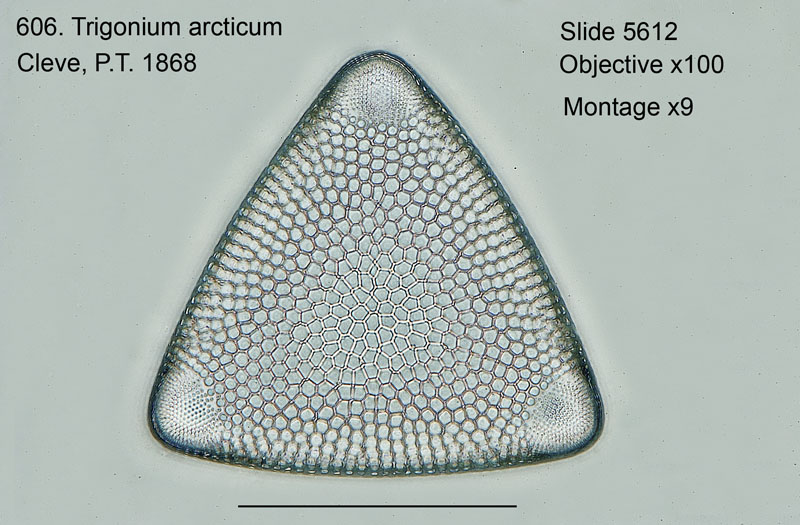 606. Trigonium arcticum