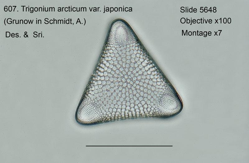 607. Trigonium arcticum var. japonica