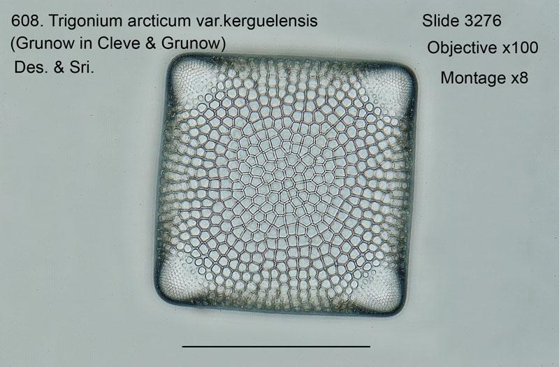 608. Trigonium arcticum var. kerguelensis