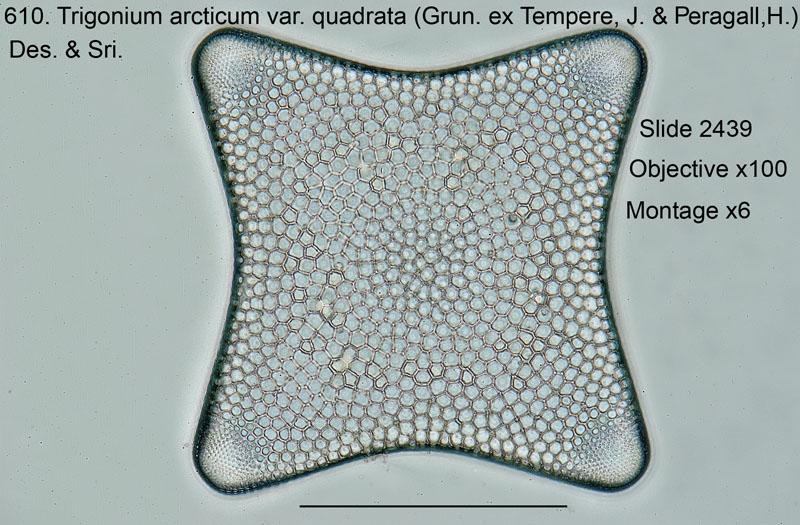 610. Trigonium arcticum var. quadrata