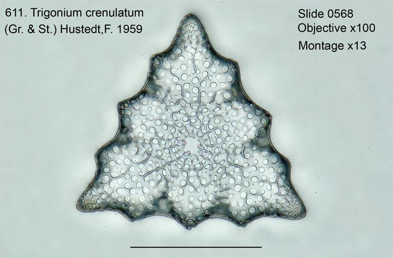 611. Trigonium crenulatum