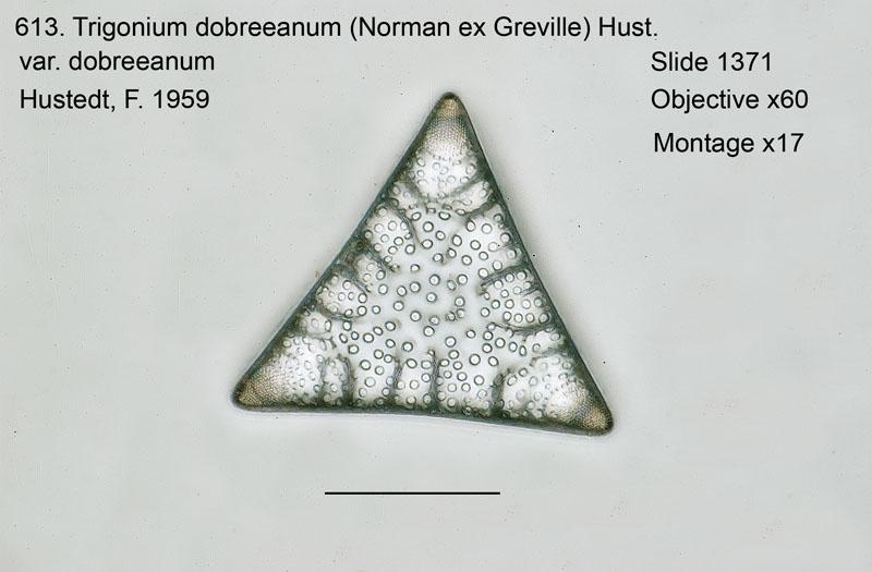 613. Trigonium dobreeanum