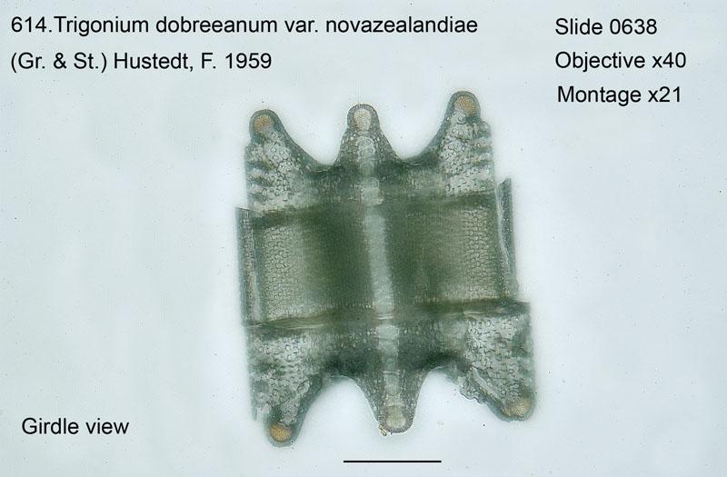 614. Trigonium dobreeanum var. novazealandiae. Valve view.