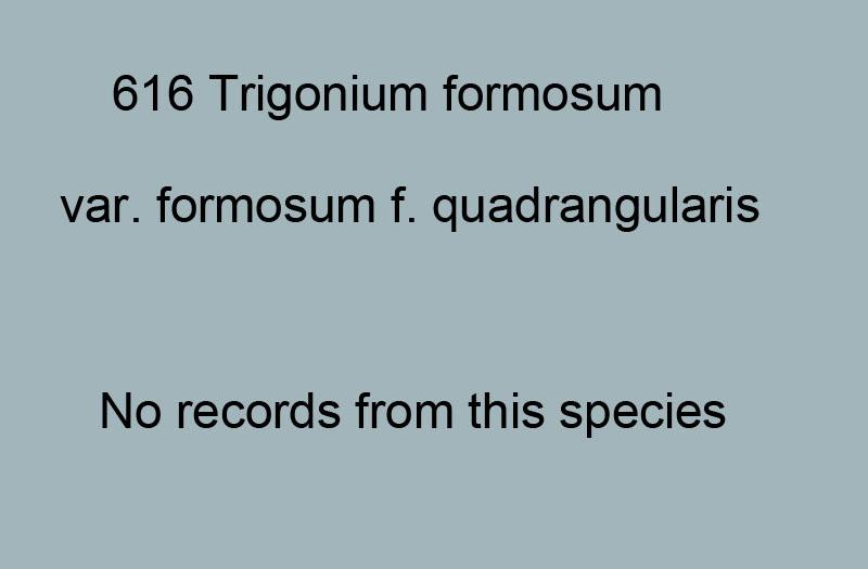 616. Trigonium formosa var. formosa f.quadrangularis