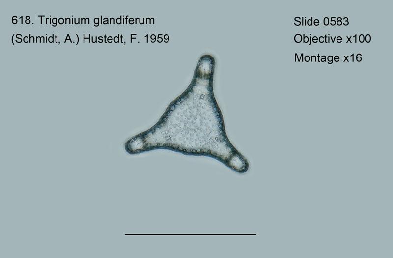 618. Trigonium glandarium