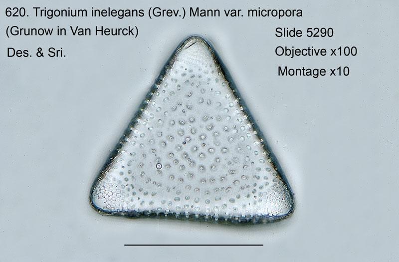 620. Trigonium inelegans var. micropora