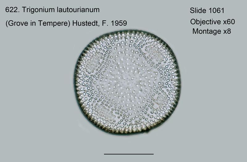 622. Trigonium lautourianum