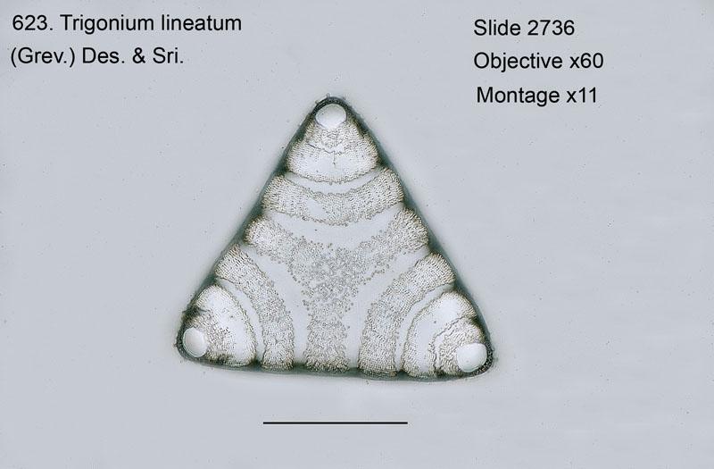 623. Trigonium lineatum