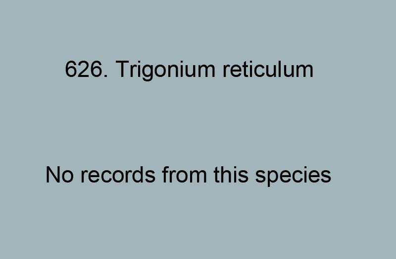 626. Trigonium reticulum