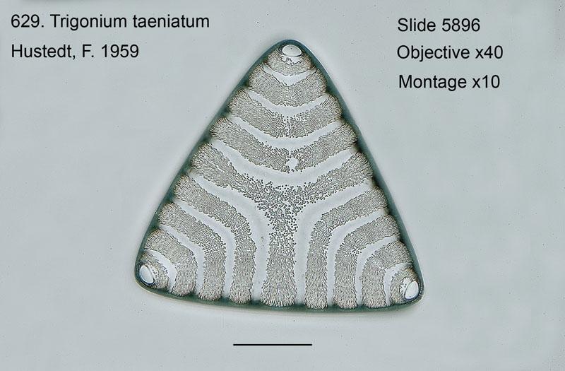 629. Trigonium taeniatum