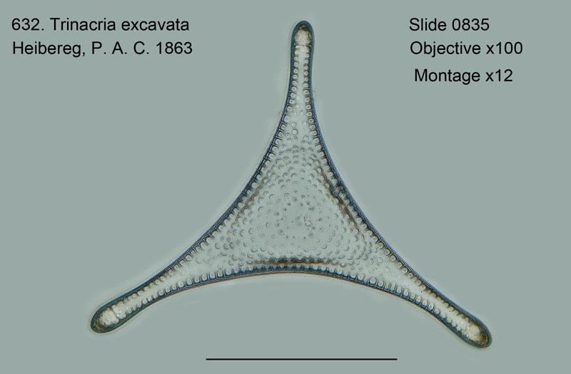 632. Trinacria excavata