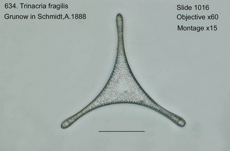 634. Trinacria fragilis