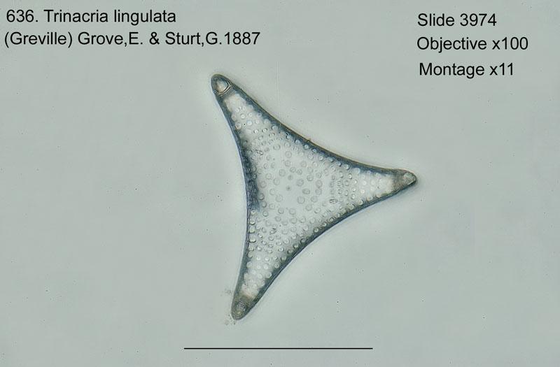 636. Trinacria lingulata