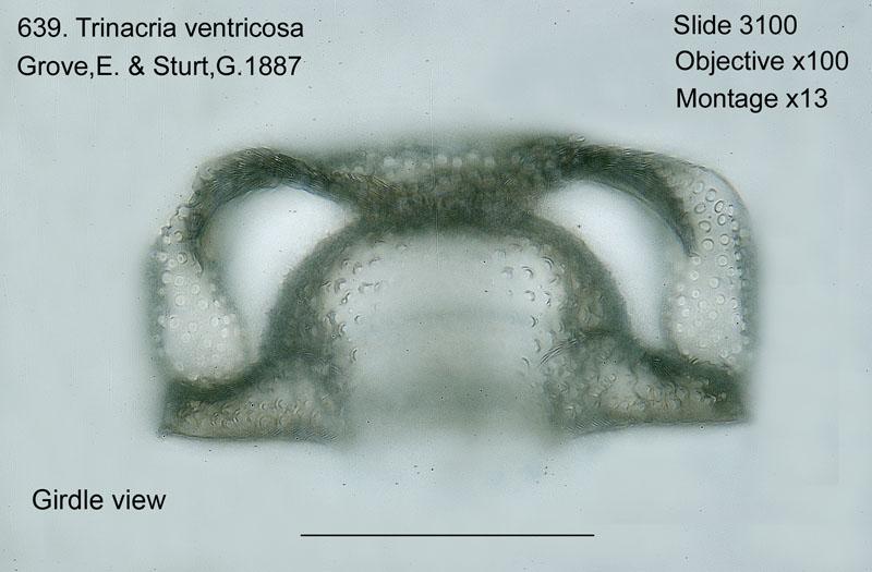 639. Tirnacria ventricosa. Girdle view.